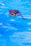 Rottweiler dog. Swimming in the pool with a ball in the mouth Royalty Free Stock Photos