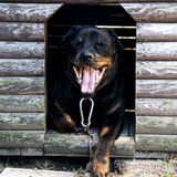 Rottweiler in the doghouse Royalty Free Stock Photos