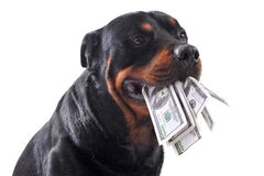 Rottweiler and dollars Royalty Free Stock Photos