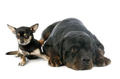 Rottweiler e chihuahua Fotografia Stock Libera da Diritti