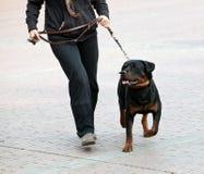 Rottweiler e passeggiata del supervisore Fotografia Stock