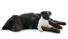 Rottweiler e terrier di Russel della presa immagini stock