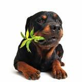 Rottweiler en gelukkig bamboe Stock Afbeelding