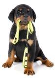 Rottweiler en leiband Royalty-vrije Stock Foto's