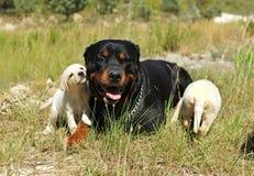 Rottweiler en puppy Labrador Stock Fotografie