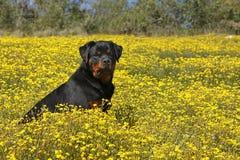 Rottweiler en un campo de flores amarillas Fotos de archivo