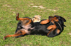 Rottweiler en weinig hond Royalty-vrije Stock Foto's