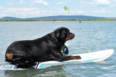 Rottweiler en windsurf Stock Afbeeldingen