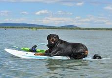 Rottweiler encendido windsurf fotos de archivo