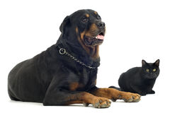 Rottweiler et chat Image stock