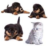 Rottweiler et chaton Photo libre de droits