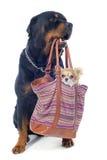 Rottweiler et chiwawa dans un sac Photos libres de droits