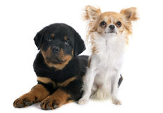 Rottweiler et chiwawa de chiot Images stock