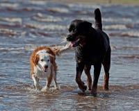 Rottweiler et rassemblement breton de chien sur la plage photos stock