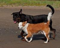 Rottweiler et rassemblement breton de chien sur la plage photographie stock libre de droits