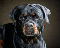 Rottweiler Face On in Studio with Brown Backdrop Stock Photography