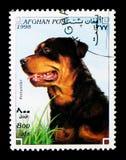 Rottweiler (familiaris) di canis lupus, serie dei cani, circa 1998 Immagine Stock Libera da Diritti