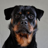 Rottweiler female 1. Portrait of Rottweiler female 12 months Stock Photography