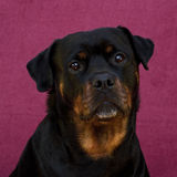 Rottweiler female 7 years Stock Photography