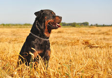 Rottweiler in a field Stock Photo