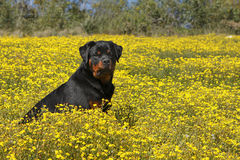 Rottweiler in a field of yellow flowers Stock Photos