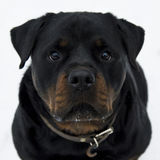 Rottweiler. Fighting dog. Portrait of nice  isolated on white Stock Images