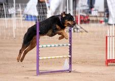 Rottweiler flyg över ett hopp royaltyfria foton
