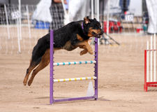 Rottweiler flying over a jump. In an agility course Royalty Free Stock Photos