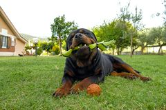 Rottweiler łgarski outside obraz royalty free