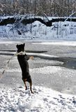 Rottweiler gentile fotografia stock