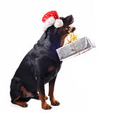 Rottweiler, gift and woman Stock Images