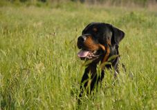 Rottweiler in grass Royalty Free Stock Photo