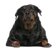 Rottweiler grasso, 3 anni, trovantesi davanti a immagini stock
