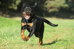 Rottweiler on green lawn Stock Image