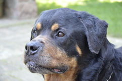 Rottweiler head. Clse up portrait of Rottweiler dog Stock Images