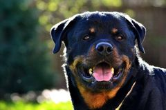 Rottweiler head detail. Rottweiler happy face with sunny weather royalty free stock photos