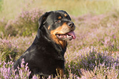 Rottweiler in heathland Stock Image
