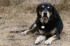Rottweiler het Ontspannen in Hay Field stock foto's