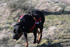 Rottweiler Hike. Tanker the wonder dog on a hike Stock Photos