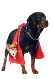 Rottweiler holding a chihuahua Stock Photos