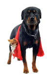 Rottweiler holding a chihuahua Royalty Free Stock Images