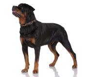 Rottweiler Hund Lizenzfreie Stockfotos
