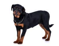Rottweiler hund Fotografering för Bildbyråer
