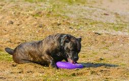 Rottweiler-Hund auf dem Sand durch das Meer spielt mit einem Spielzeug Stockfotos