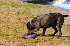 Rottweiler-Hund auf dem Sand durch das Meer spielt mit einem Spielzeug Stockbild