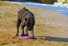 Rottweiler-Hund auf dem Sand durch das Meer spielt mit einem Spielzeug Lizenzfreie Stockfotos