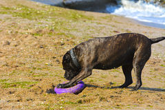 Rottweiler-Hund auf dem Sand durch das Meer spielt mit einem Spielzeug Stockfotografie