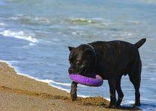 Rottweiler-Hund auf dem Sand durch das Meer spielt mit einem Spielzeug Lizenzfreie Stockfotografie
