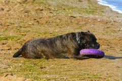 Rottweiler-Hund auf dem Sand durch das Meer spielt mit einem Spielzeug Lizenzfreie Stockbilder