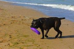Rottweiler-Hund auf dem Sand durch das Meer spielt mit einem Spielzeug Lizenzfreies Stockfoto